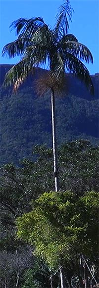 palmeira-juçara